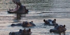 Nijlpaarden van Pablo Escobar stellen Colombia voor moeilijke keuze