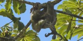 Zelden waargenomen: luiaard bevalt in hoge boom