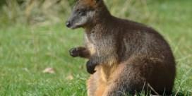 Moeraswallaby kan haar hele leven voortdurend zwanger zijn