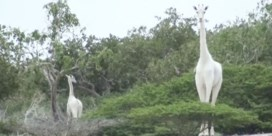 Zeldzame witte giraf en haar jong gedood in Kenia