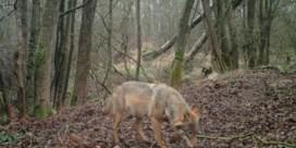 Nederlandse wolf was 'onze' Noëlla