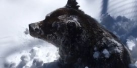 Verwarde grizzlybeer komt terug boven na winterslaap