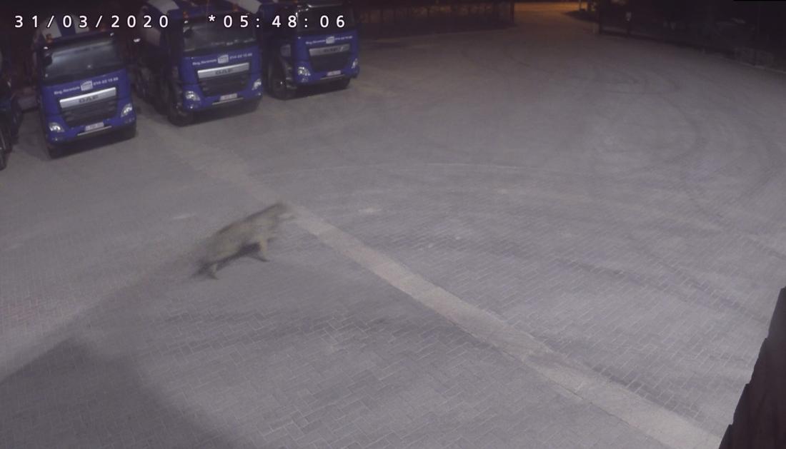 Waarnemingen van 'minstens één nieuwe wolf' in Antwerpse Kempen