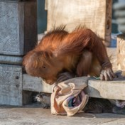 Otters moeten orang-oetans entertainen in Pairi Daiza