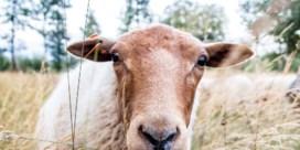 De herderin van het meetjesland: 'Hoop dat ik dit nog heel lang mag doen'