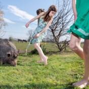 Coronadagboek van fotograaf Nick Hannes: varken van de buren komt regelmatig op bezoek