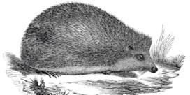 De lenigheid van de egel