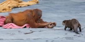 Duitse zoo zal dieren laten inslapen door coronacrisis, in België niet aan de orde