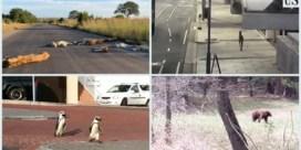 Beren, leeuwen, kangoeroes, pinguins: over heel de wereld komen wilde dieren massaal uit hun kot