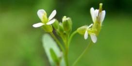 Onderzoekers vinden levensverlengend gen in planten
