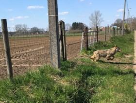 Vier nieuwe wolven in ons land: 'België wordt wolvenkruispunt van Europa'