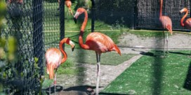 De flamingo's baltsen en Chita mist ons