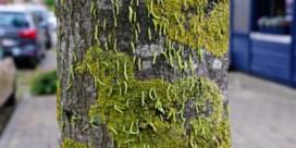 Het regent larven van de bladwesp