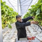Asielzoekers redden aardbeienoogst