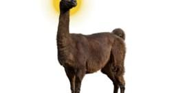 Komt de remedie van een lama en een voorraadje dromedarisbloed?