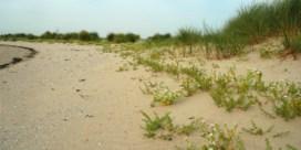 Verlaten strand laat plantjes herademen