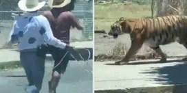 Mannen zitten tijger achterna met lasso