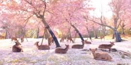 Honderden herten genieten in verlaten park van Japanse kersenbloesems