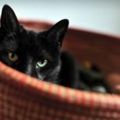 Katten met corona ingespoten om besmettelijkheid te testen