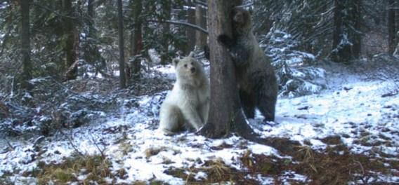 Zeldzame witte grizzlybeer gespot in Canada