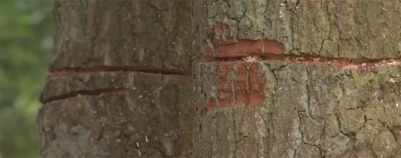 'Bang afwachten of beschadigde bomen het zullen halen'