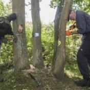 Vrijwilligers proberen beschadigde eiken te redden met houtschijfjes en veenmos