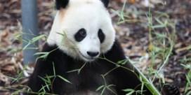 Reuzenpanda Tian Bao verlaat na kerstvakantie ons land