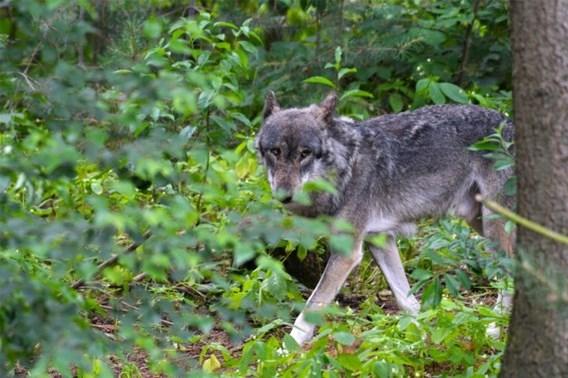 Wolf bijt koe dood in gebied van Grote Nete