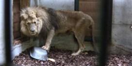 Natuurhulpcentrum helpt verwaarloosde leeuw uit Frans circus te redden
