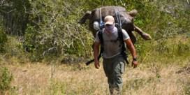 Schildpad die zijn soort redde van uitsterven, na 80 jaar weer op geboorte-eiland
