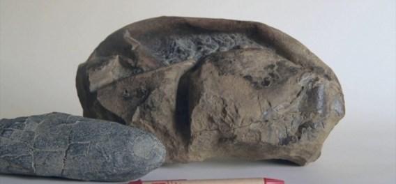 'Platte voetbal' blijkt uitzonderlijk fossiel te zijn