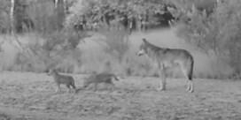 Wolvenwelpen in Limburg voor het eerst vastgelegd op beeld