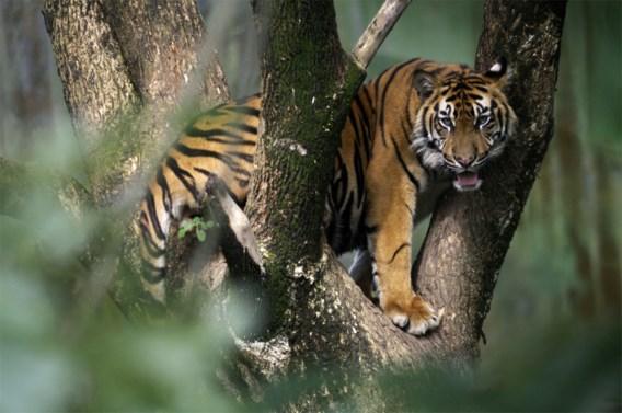 Sumatraanse tijger vergiftigd in Indonesië