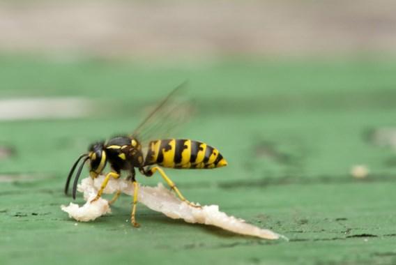 Wordt het de zomer van de steekmuggen?
