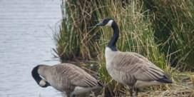 Natuur en Bos gaat verder met doden Canadese ganzen