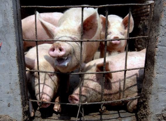 Chinese onderzoekers waarschuwen voor mogelijk gevaarlijke varkensgriep