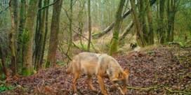 Demir verlengt jachtverbod in wolvengebied tot eind augustus