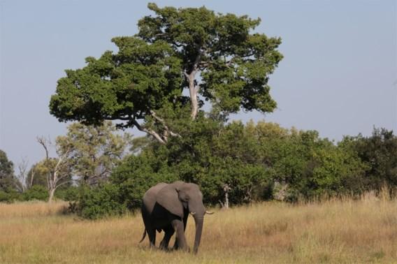 Botswana staat voor raadsel door massale olifantensterfte