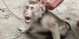 Zware dierenmishandeling in Thailand: Apen moeten onder dwang 1.000 kokosnoten per dag plukken