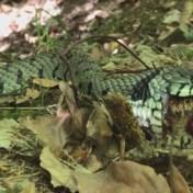 Ringslang die kikker eet gespot in de Ardennen
