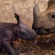Indische neushoorn geboren in Zoo Planckendael