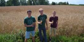 Boeren en brouwers kweken samen gerst en tarwe