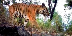 Bedreigde tijgersoort gespot in Thaise wildernis