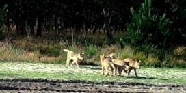 Nieuwe beelden van wolvenwelpjes van Noëlla en August