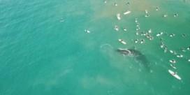 Walvis maakt nieuwsgierige surfers duidelijk dat ze niet te dichtbij moeten komen