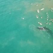 Walvis maakt nieuwsgierige surfers duidelijk dat ze niet té dichtbij moeten komen