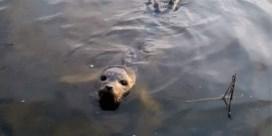 Zeehonden gespot aan de Scheldeoever