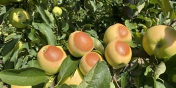 Daar is de hitte, daar is de schade aan het fruit