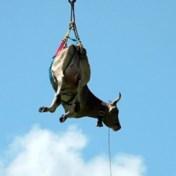 Gewonde koe opgehaald door helikopter in Zwitserse Alpen