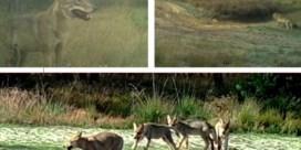 Hoe Limburg het Vlaamse wolvennest werd